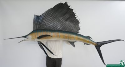 Segelfisch_2_hofinger_praeparator
