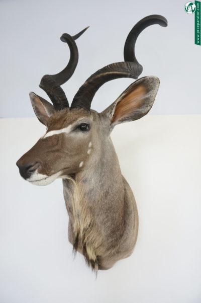 Kudu_1_hofinger_praeparator_com