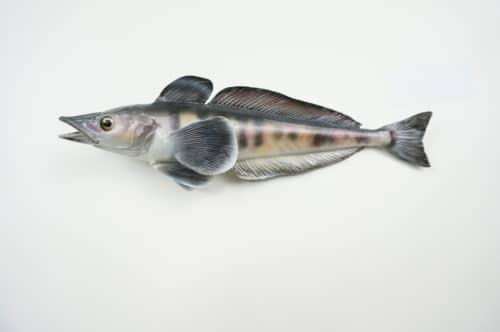 Antarkt Makrelen-Eisfisch praeparat hofinger_praeparator (2)