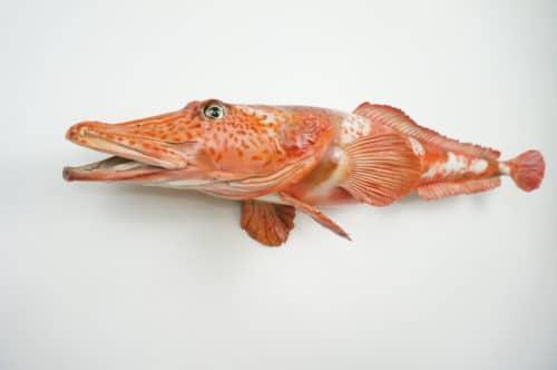 Antarkt. Drachenfisch praeparat_hofinger_praeparator (3)