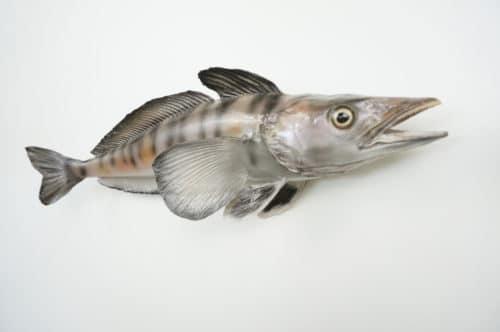 Antarkt. Makrelen-Eisfisch praeparat_hofinger_praeparator (3)