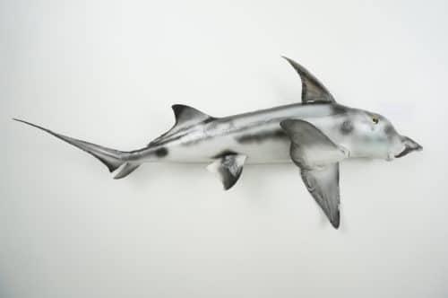 Elefantfisch praeparat_hofinger_praeparator (2)
