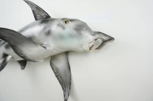 Elefantfisch praeparat_hofinger_praeparator (4)