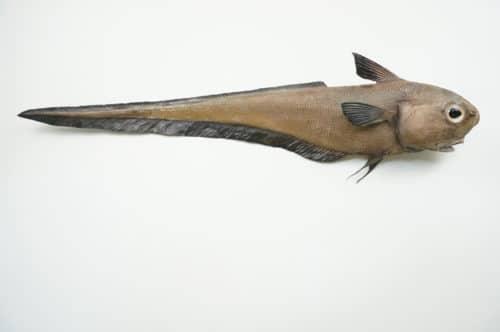 Grenadierfisch praeparat_hofinger_praeparator (2)