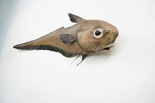 Grenadierfisch praeparat_hofinger_praeparator (3)