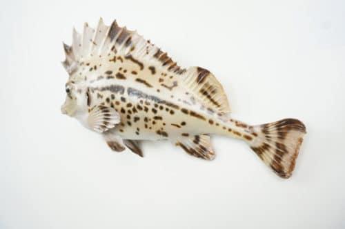 Horsefish praeparat_hofinger_praeparator (2)