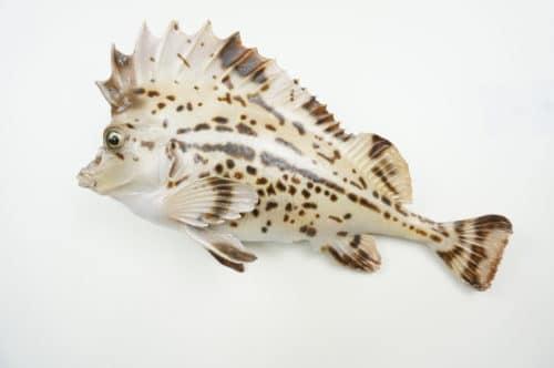 Horsefish praeparat_hofinger_praeparator (3)