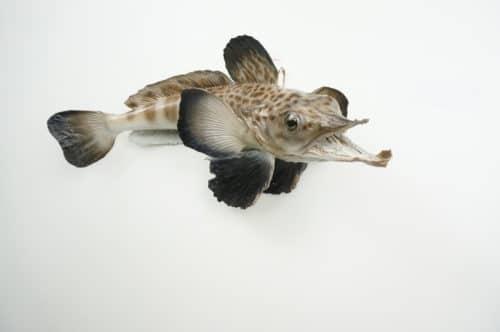 Antarkt. Krokodileisfisch praeparat_hofinger_praeparator (3)