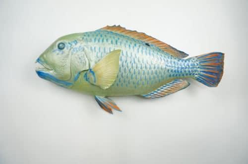 Blue Parrotfish praeparat_hofinger_praeparator (2)