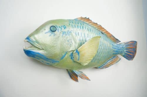 Blue Parrotfish praeparat_hofinger_praeparator (3)