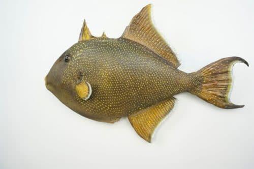 Gelbpunkt-Drueckerfisch_praeparat_hofinger_praeparator (1)