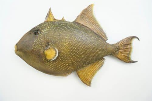 Gelbpunkt-Drueckerfisch_praeparat_hofinger_praeparator (2)