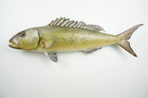 Green Jobfish praeparat_hofinger_praeparator (2)
