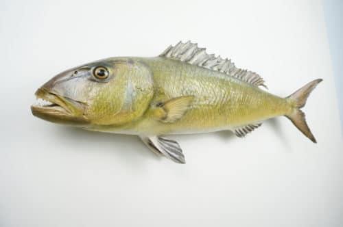 Green Jobfish praeparat_hofinger_praeparator (3)
